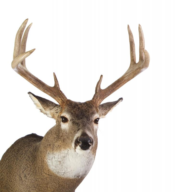 "A deer's ""points"" are determined by the number of tines on their antlers, so an eight pointed male deer has eight distinct tines."