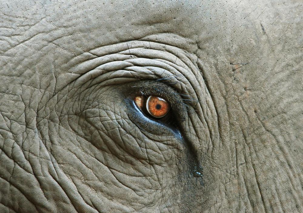 Elephant eye with tear.
