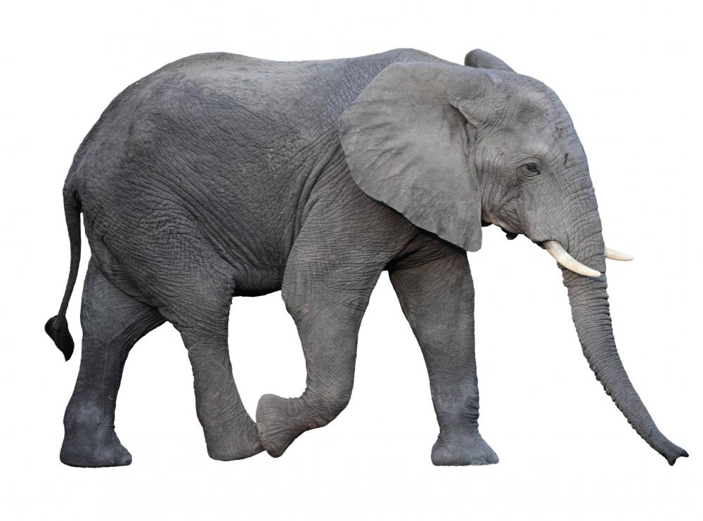 Elephants use their tails to keep away flies.