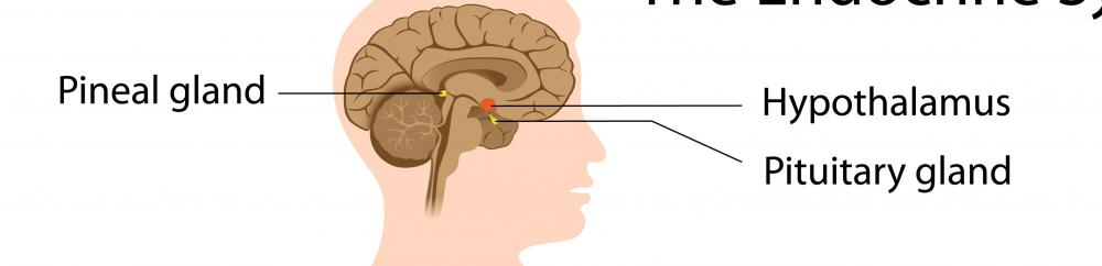 What does the Pineal Gland do? (with pictures)