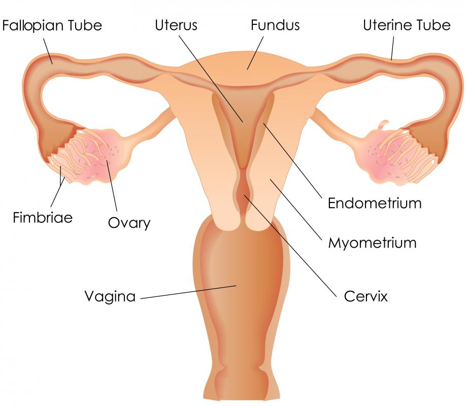 what is the endometrial cavity? (with pictures), Human Body