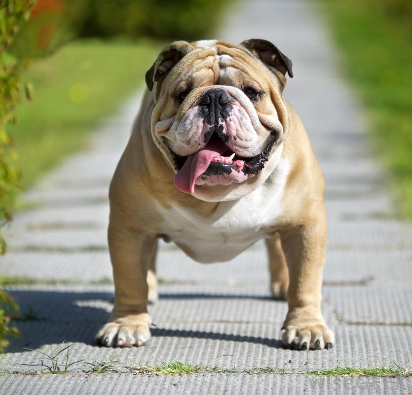 A bulldog's coat should be brushed three times a week.