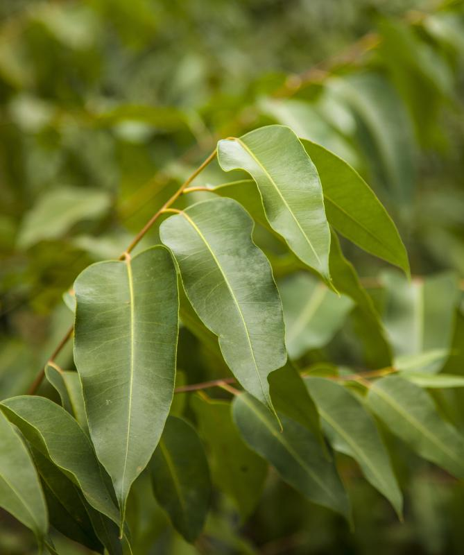 Eucalyptus oil is sometimes found in antibacterial cream.