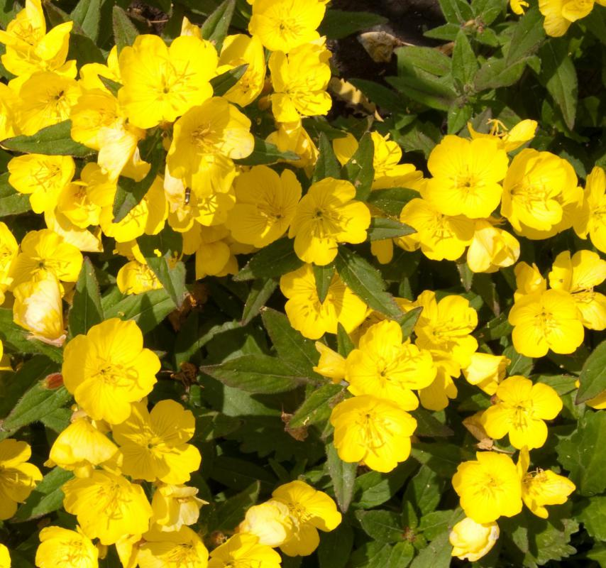 The fatty oil of the evening primrose flowering plant will not block pores when applied to the skin.