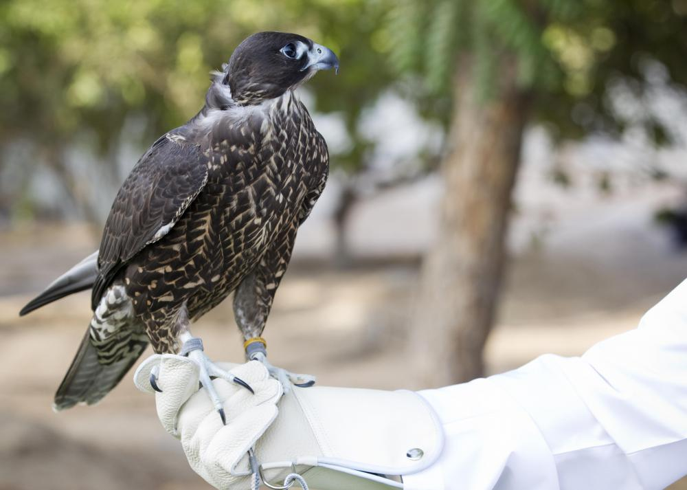 Because of their intelligence, hawks are prized in the sport of falconry.