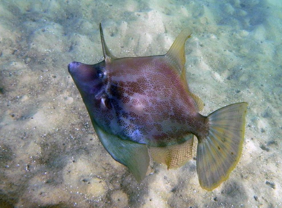 The fan-bellied leatherjacket fish can be identified by its diamond-shaped body and darker coloring.
