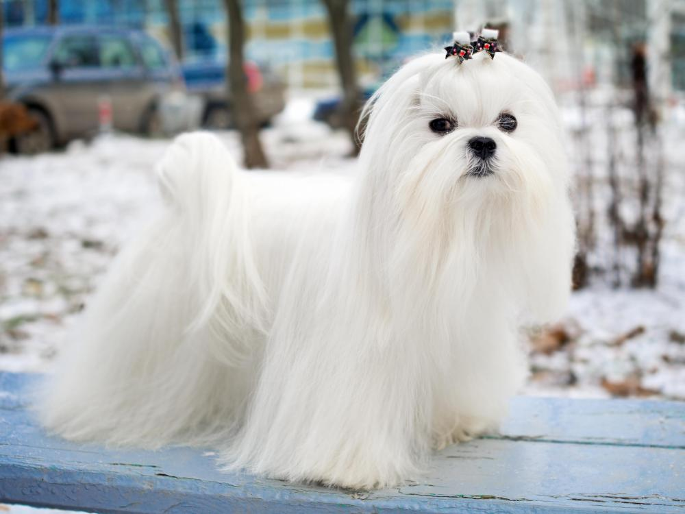 The Maltese is considered a very affectionate breed.