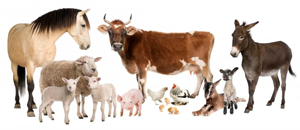 Animal husbandry involves caring for many different types of livestock.