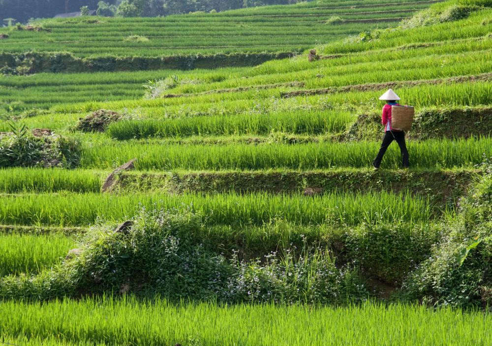 Rice paddies can produced large amounts of methane, which contributes to climate change.