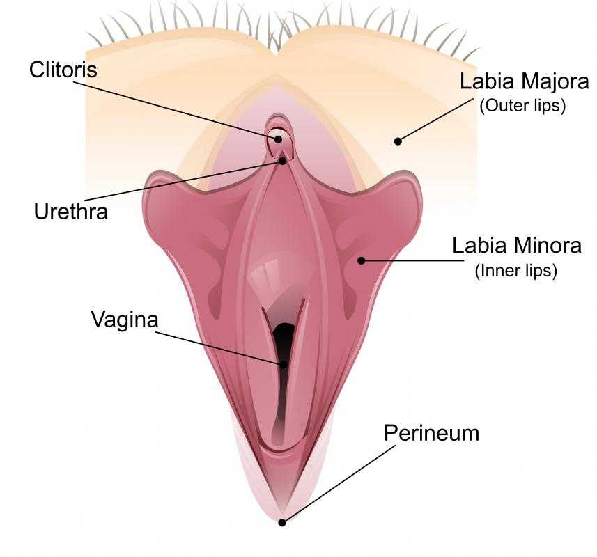 The vulva includes the parts of the female genitals that are on the surface of the body, such as the clitoris.
