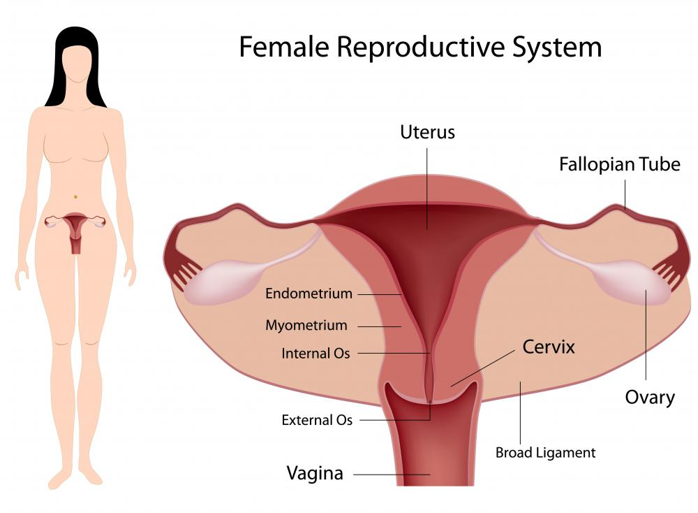 The cervix lies between the vagina and uterus.