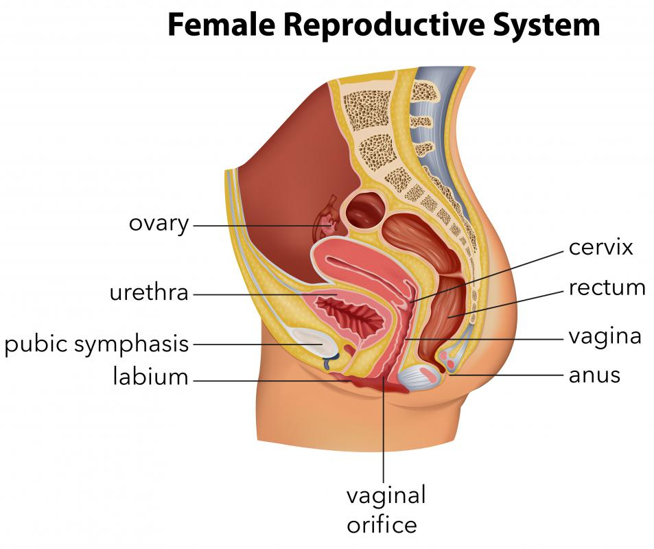 The external female genitalia, including the labium, are referred to as the vulva.