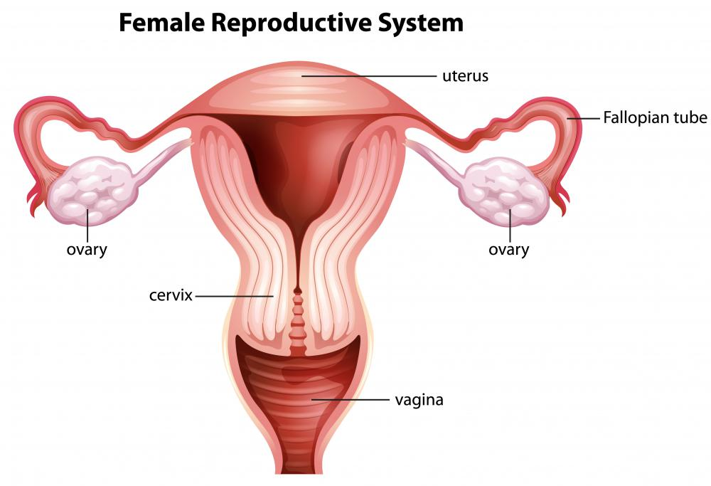 What Are the Different Uterus Ligaments? (with pictures)