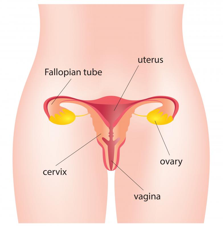 The uterine lining is shed during menstruation.