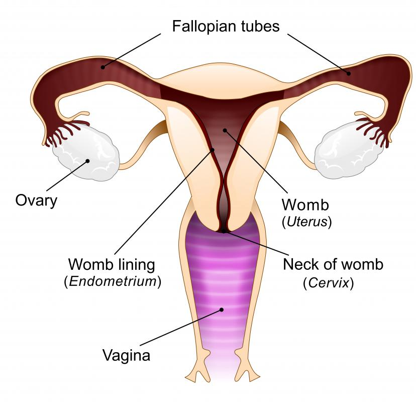 In females, the ovaries are responsible for producing most of the body\'s estrogen.