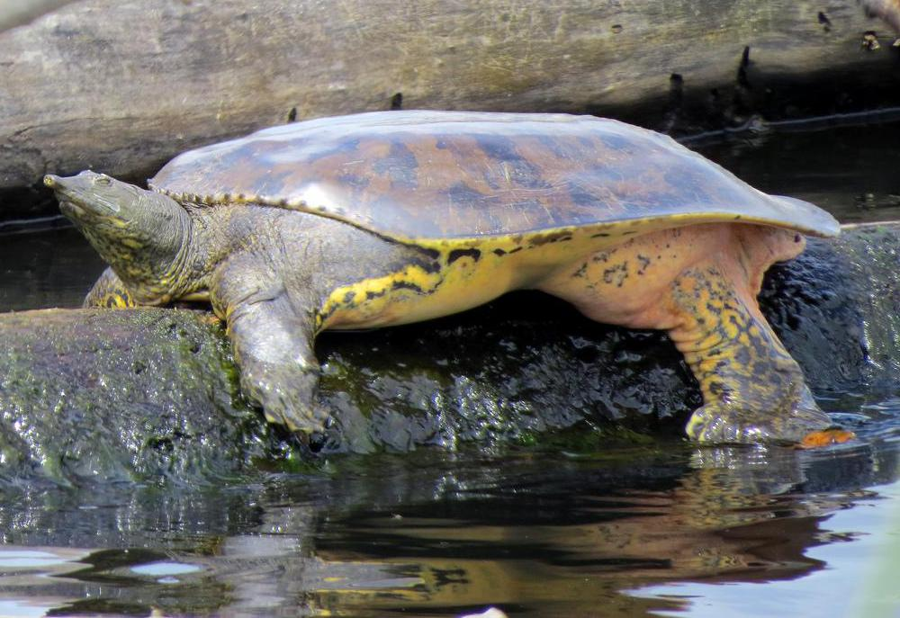The soft-shelled turtle is a less common type of freshwater turtle.