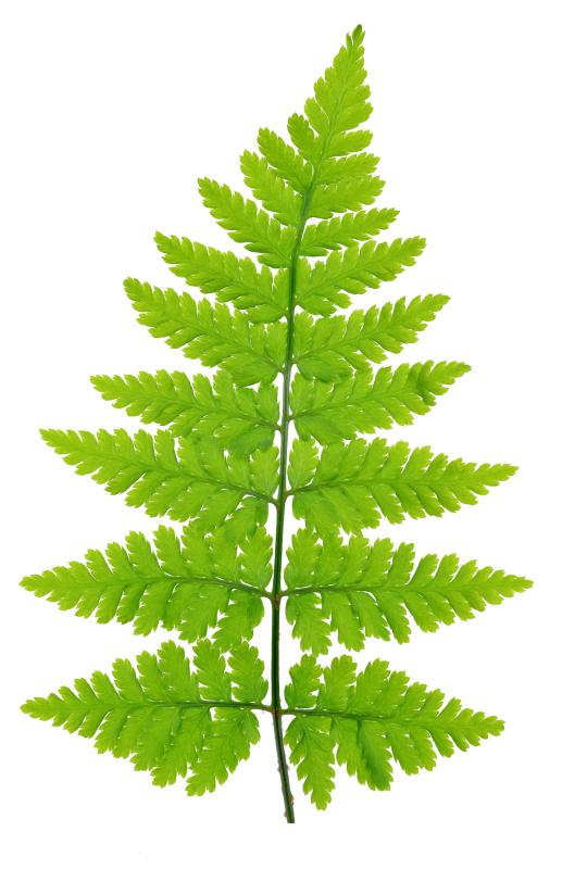 The leaf-like structures of a fern are known as fronds.