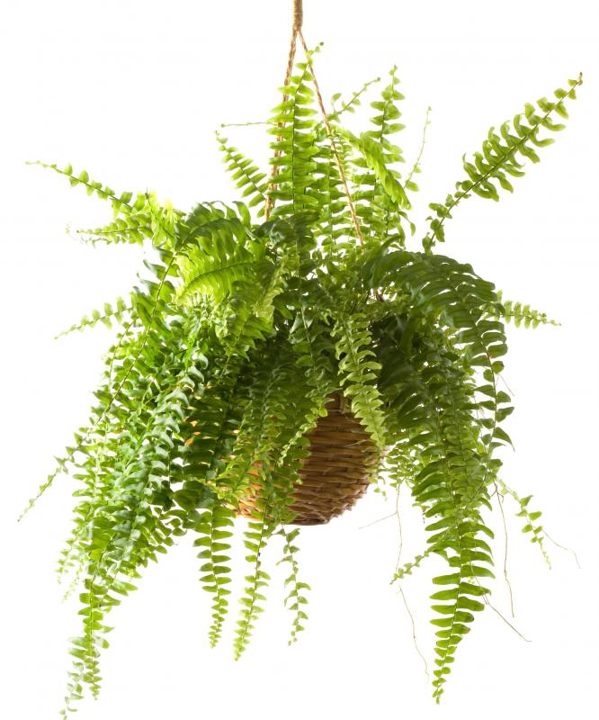 Boston ferns are often used in hanging baskets.