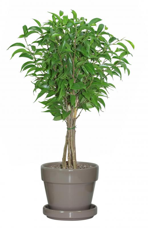What Are Some Good Indoor Trees With Pictures