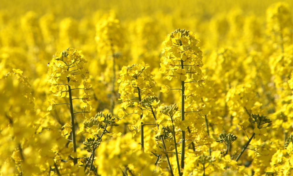 The rape plant is a member of Brassicaceae used to produce canola oil.