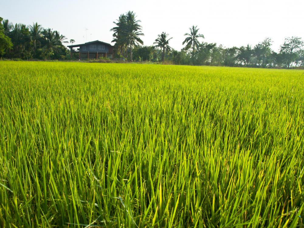 A field of rice.