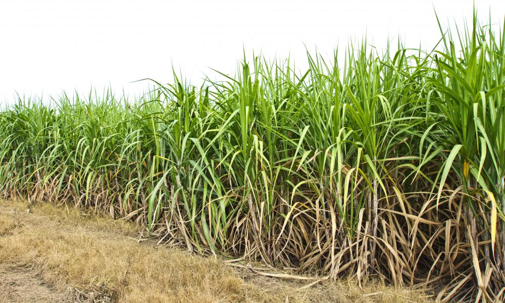 Sugar cane growns in tropical and sub-tropical regions around the world.