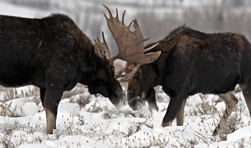 Brown bears often eat larger males like moose.