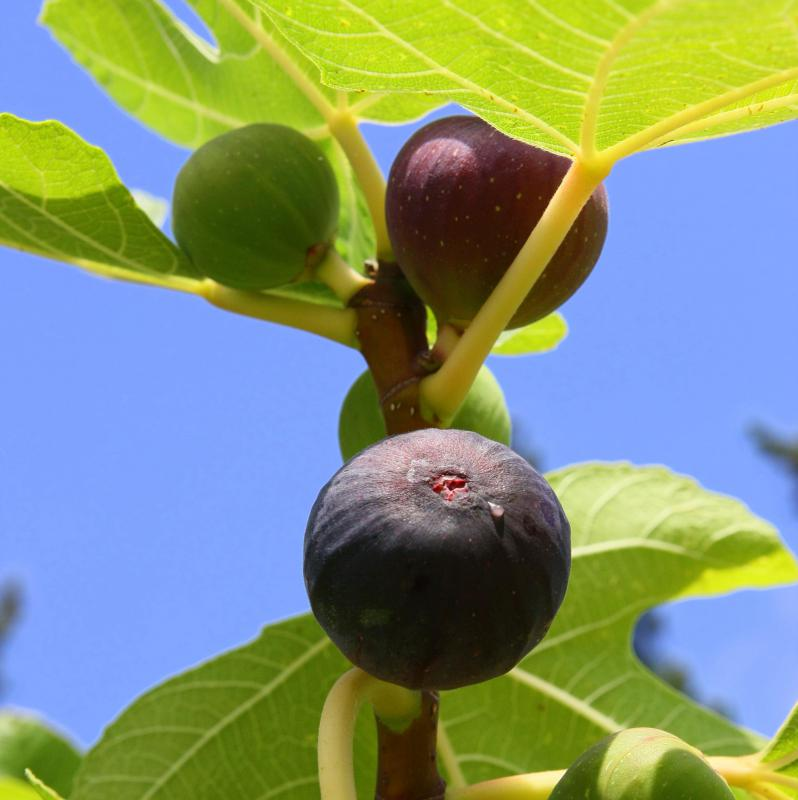 Figs growing on the tree.