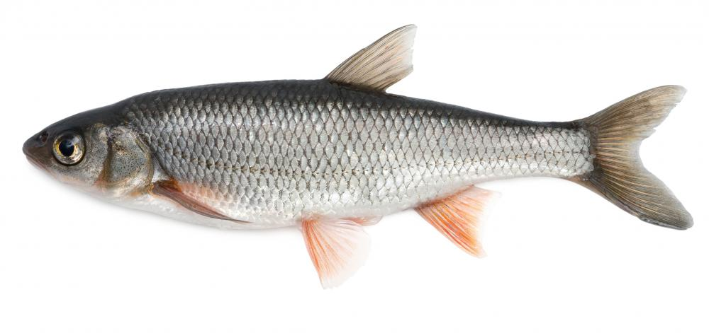 Fish collagen is extracted from fish skin and scales.