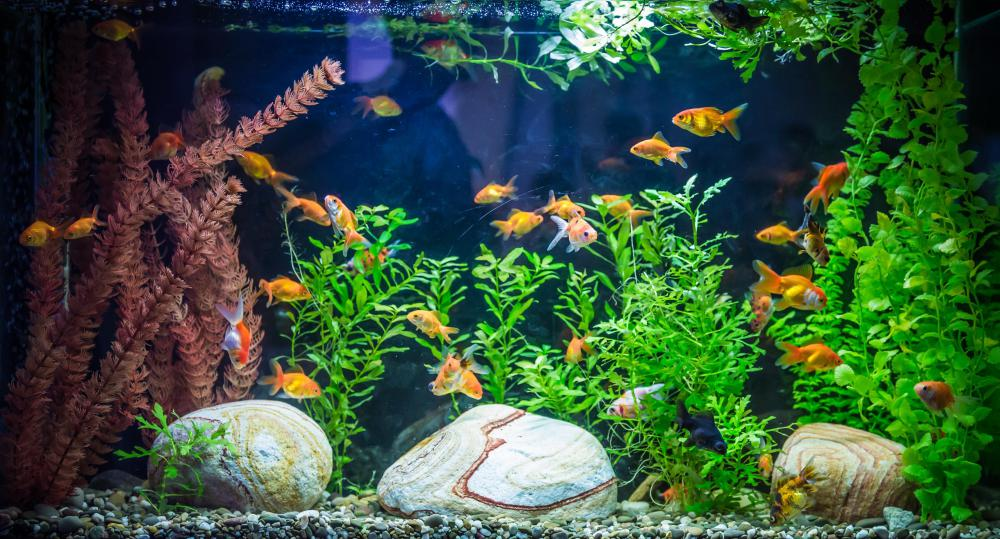 Goldfish tanks should be large and rectangular rather than small and bowl-shaped.