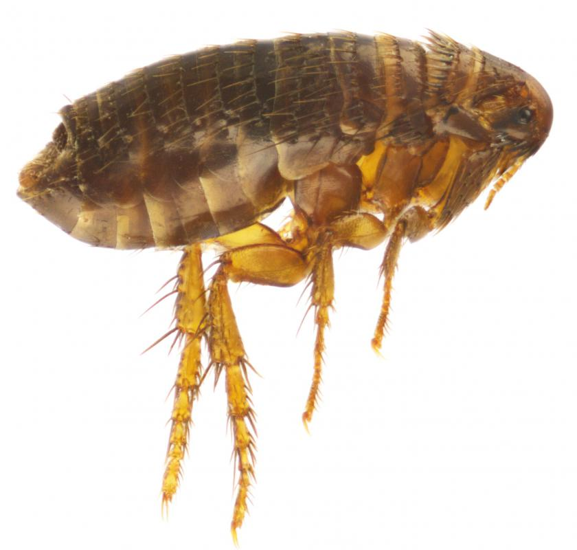 Tea tree oil may be effective in repelling fleas, which are tiny insects that bite and suck the blood of humans and animals.