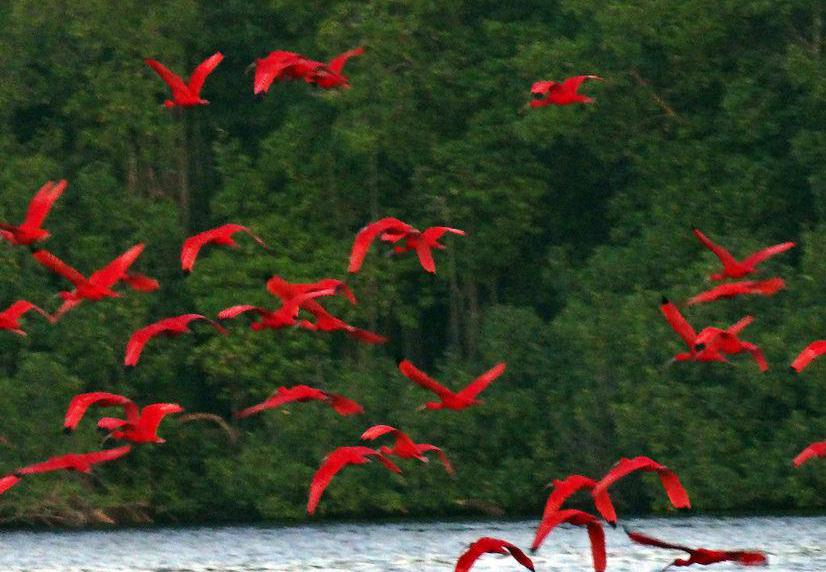 Scarlet ibises may be found along estuaries.