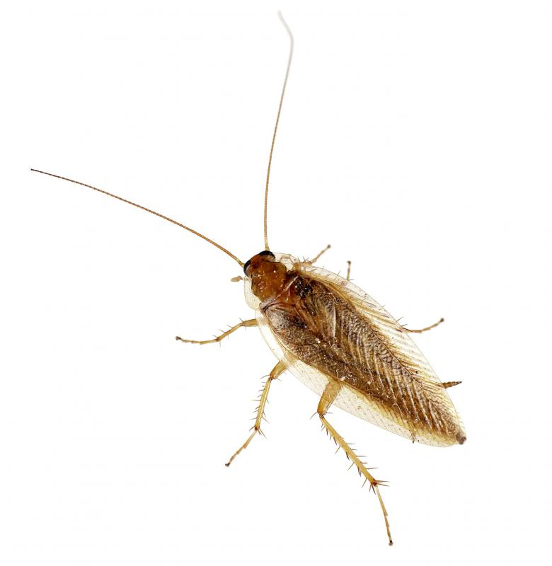 A flying cockroach.