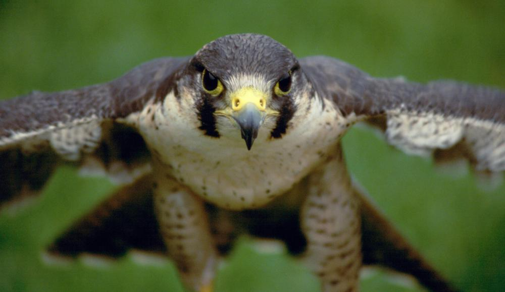 The peregrine falcon is a close relative to the prairie falcon.