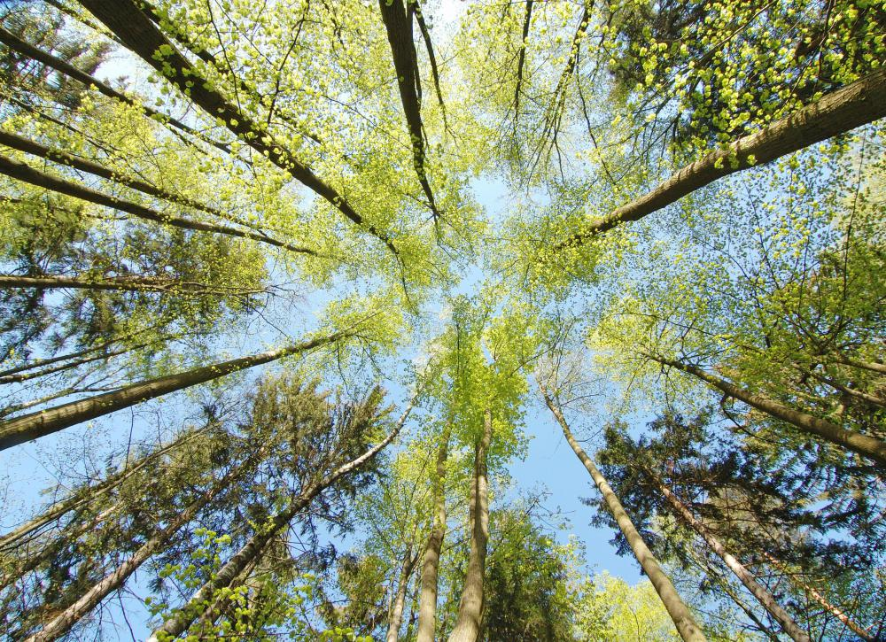 A person who looks up to where the crowns of the trees meet has seen a forest canopy.