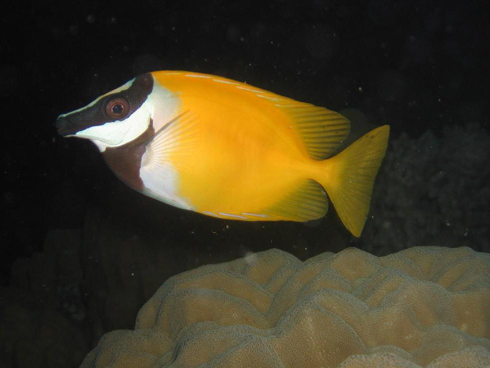 Fox-faced rabbitfish are tropical fish that are easy to keep in home aquariums.