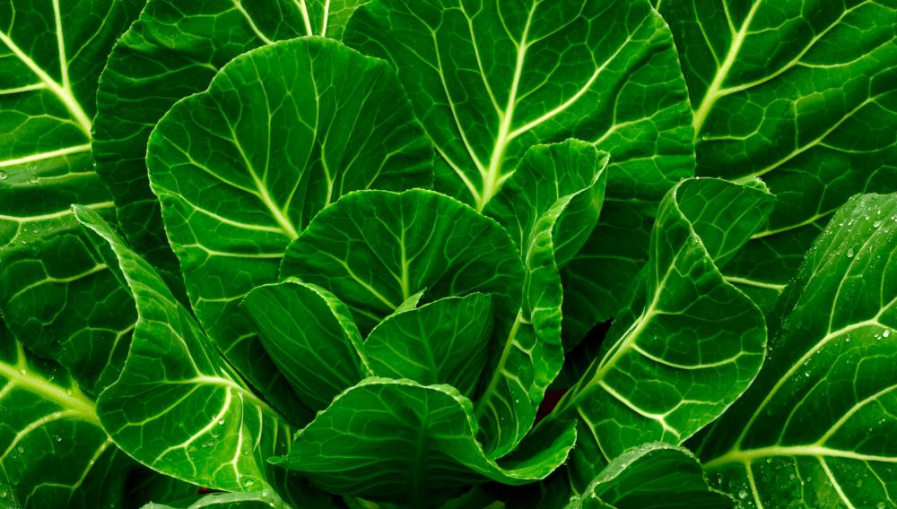 Collard greens can be kept fresh for longer by wrapping unwashed ...