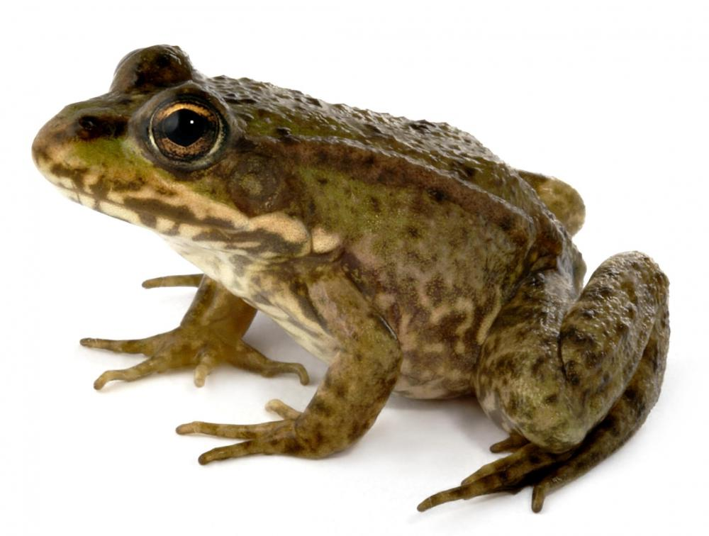 A frog, a type of freshwater species.