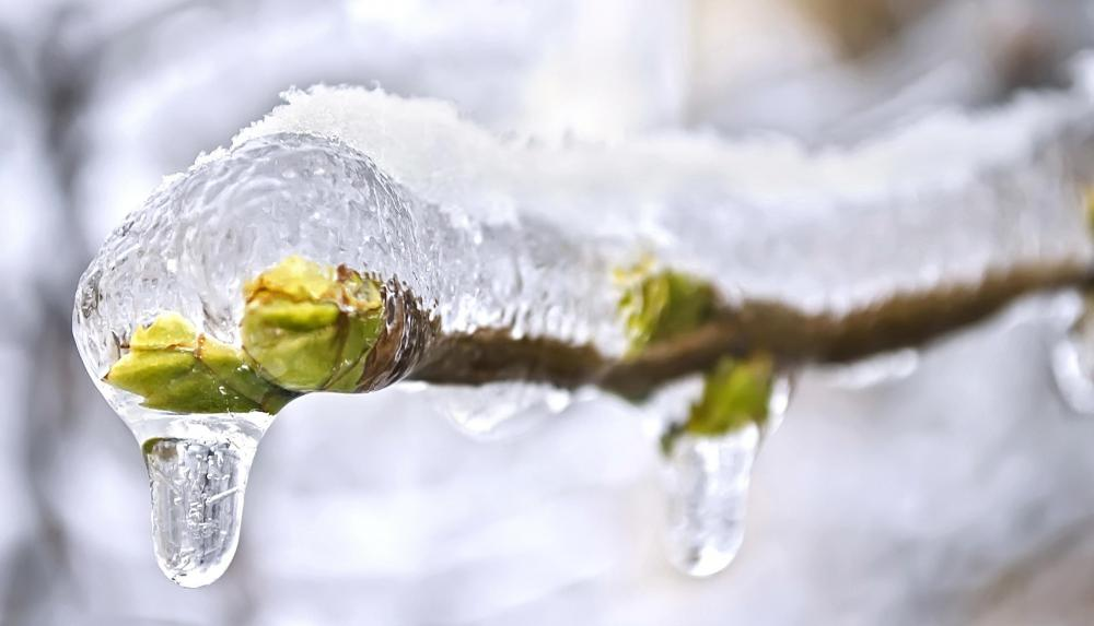 frozen buds on a - photo #7