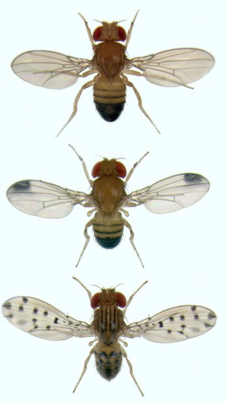 Researchers often use fruit flies to study gynadromorphy.