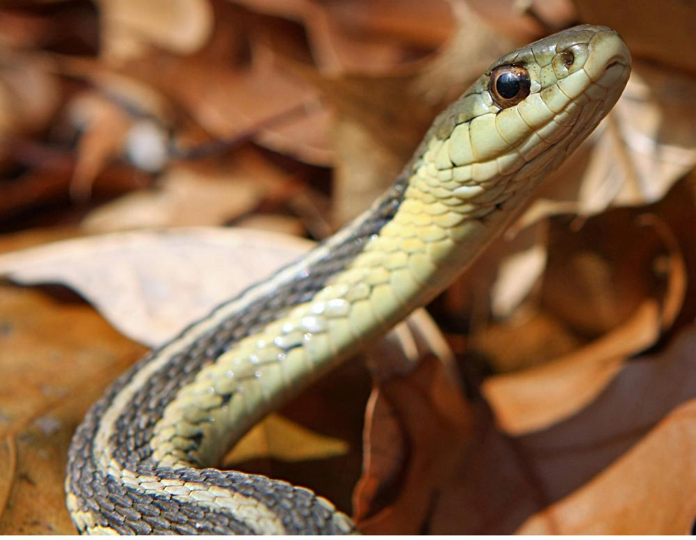 Garter snakes are typically dark greenish in color.