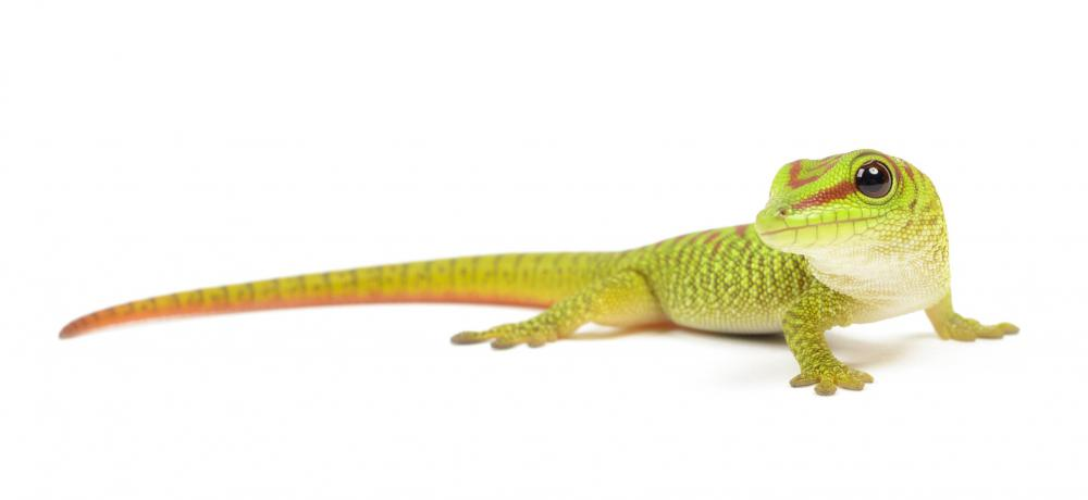 Geckos are small tropical lizards that climb vertical surfaces with ease.