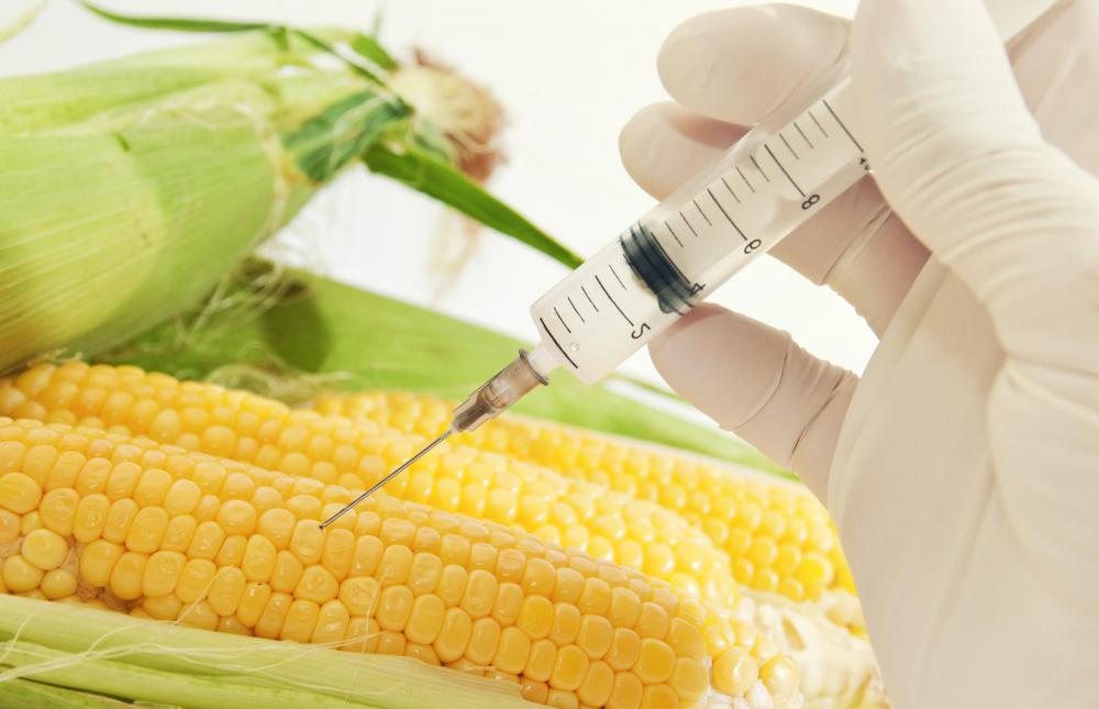 GMO corn is used for corn oil, corn syrup and more.
