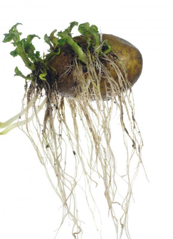 is it safe to eat potato sprouts with pictures
