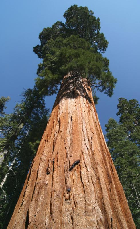 Sequoias are one of the tallest conifers.