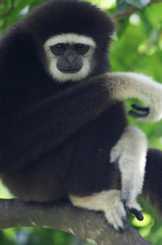 The cao-vit crested gibbon is a rare species.