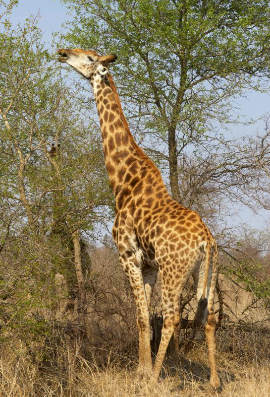 As they evolved, giraffes with long necks had greater access to food.