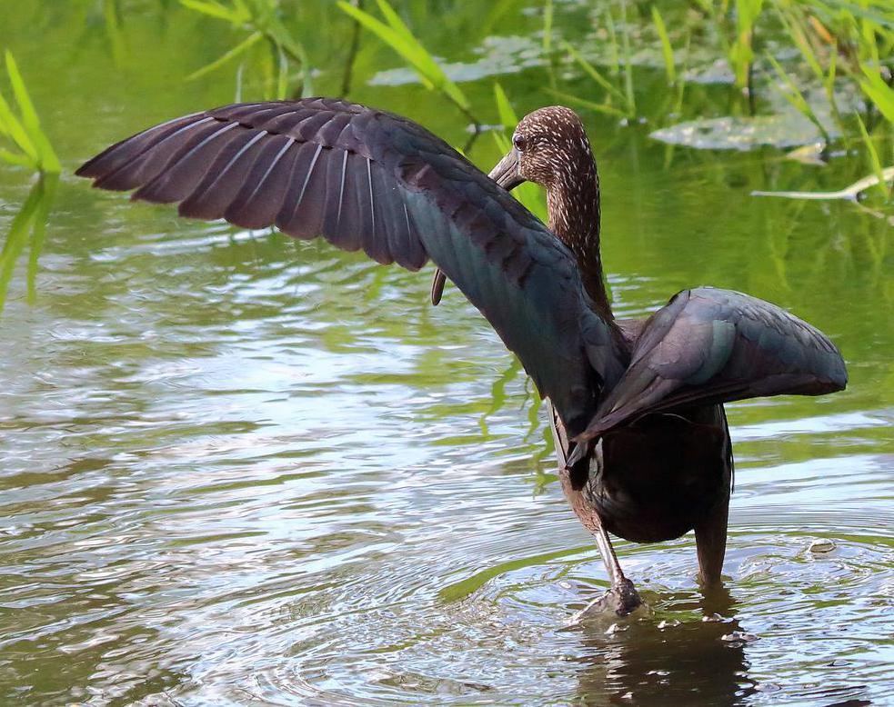 The glossy ibis is a shoreline bird that sports glossy black feathers across its wings and body and brick-red feathers on its head.