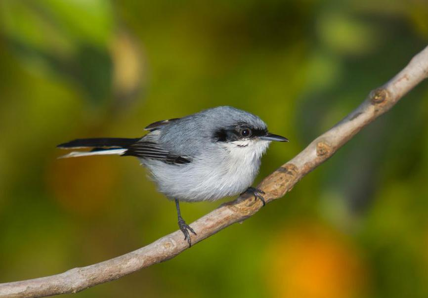 Gnatcatchers may live in rainforests.