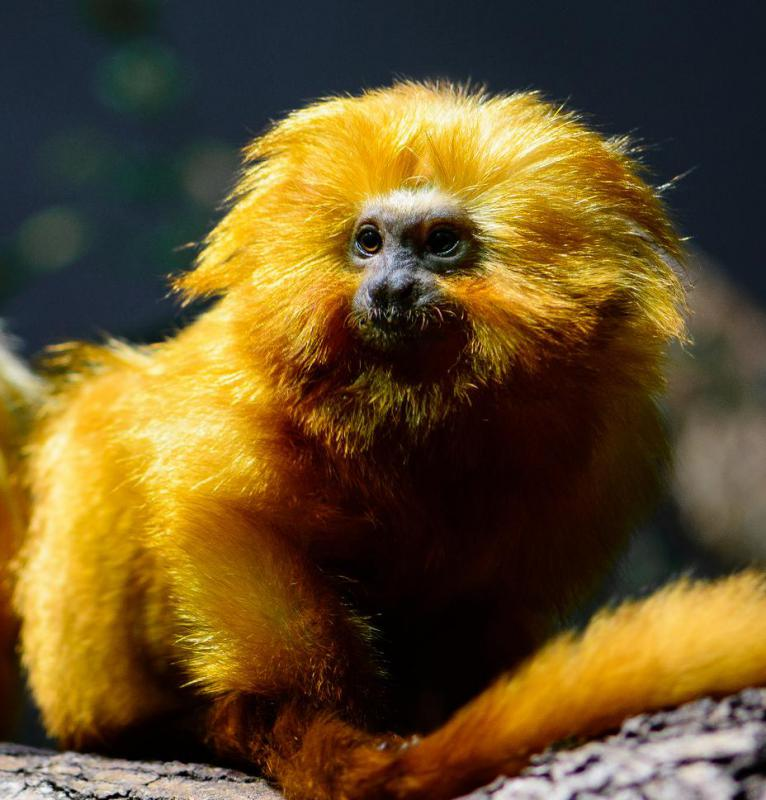 Golden lion tamarins are grouped with marmosets.